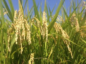 ear-of-rice-1353609_1280
